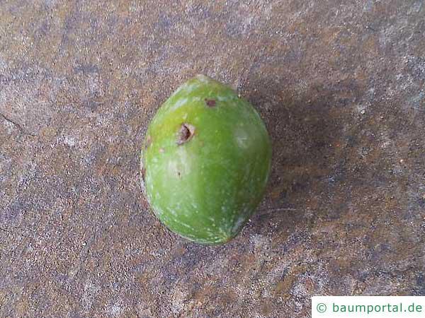 Henkels Gelbholz (Podocarpus henkelii) Frucht