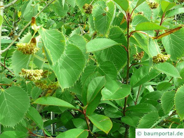 Henrys Linde (Tilia henryana) Blätter