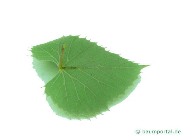 Henrys Linde (Tilia henryana) Blatt Unterseite