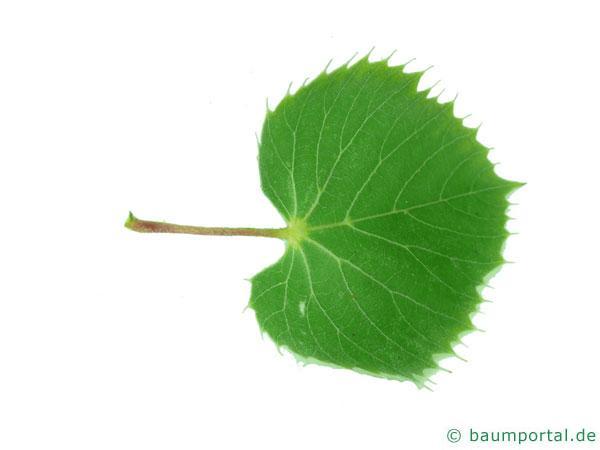 Henrys Linde (Tilia henryana) Blatt