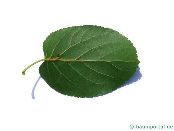 herzblättrige Erle (Alnus cordata) Blattrückseite