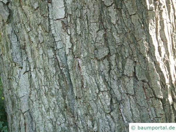 herzblättrige Erle (Alnus cordata) Stamm