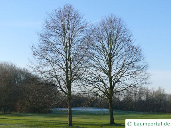 holländische Linde (Tilia intermedia) Baum im Winter