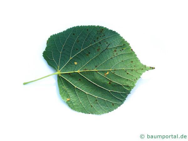 holländische Linde (Tilia intermedia) Blattunterseite
