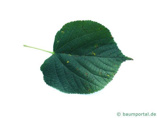 holländische Linde (Tilia intermedia) Blatt