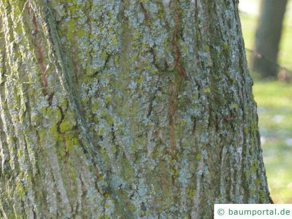 holländische Linde (Tilia intermedia) älterer Stamm der Linde