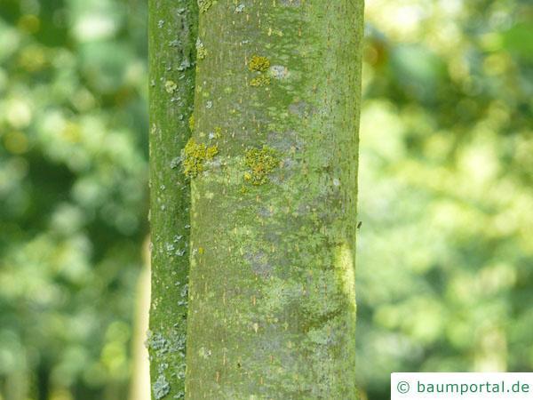 holländische Linde (Tilia intermedia) junger Stamm der Linde
