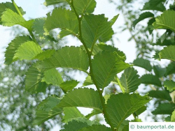 Holländische Ulme (Ulmus hollandica) Zweig im Sommer