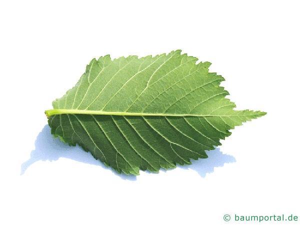 Holländische Ulme (Ulmus hollandica) Blattunterseite