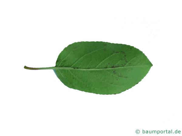 Holz-Apfel (Malus sylvestris) Blattrückseite