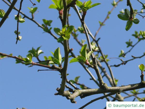Holz-Apfel (Malus sylvestris) Austrieb