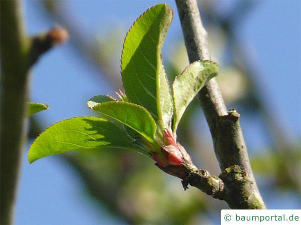 Holz-Apfel (Malus sylvestris) Blattbasis
