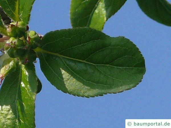 Holz-Apfel (Malus sylvestris) Blatt