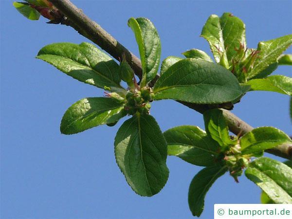 Holz-Apfel (Malus sylvestris) Blütenknospen