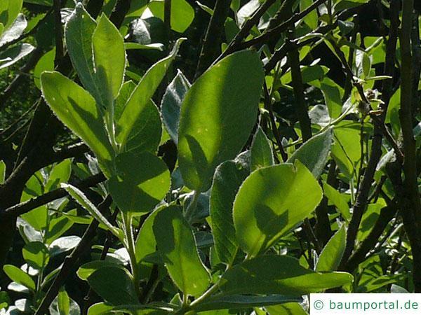 Hookers-Weide (Salix hookeriana) Blätter
