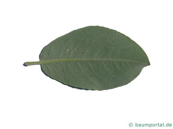 Hookers-Weide (Salix hookeriana) Blatt Unterseite