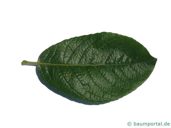 Hookers-Weide (Salix hookeriana) Blatt