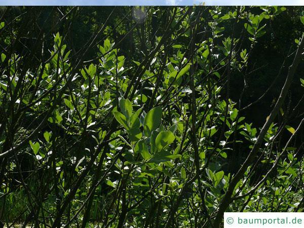 Hookers-Weide (Salix hookeriana) buschiger Wuchs