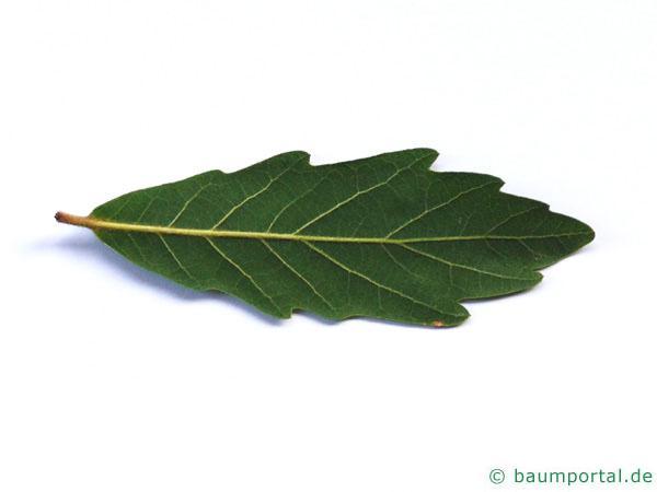 Immergrüne Eiche (Quercus turneri 'Pseudoturneri') die Rückseite des Blattes
