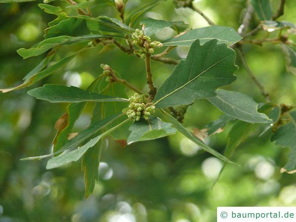 Immergrüne Eiche (Quercus turneri 'Pseudoturneri') Blattstellung