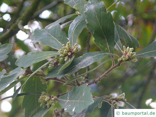 Immergrüne Eiche (Quercus turneri 'Pseudoturneri') Blüte