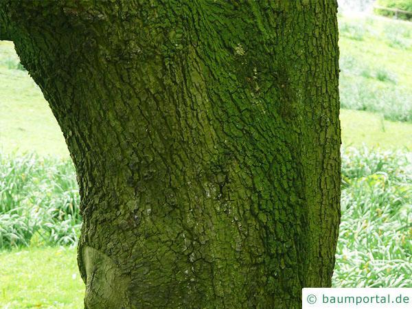 Immergrüne Eiche (Quercus turneri 'Pseudoturneri') Stamm / Rinde / Borke