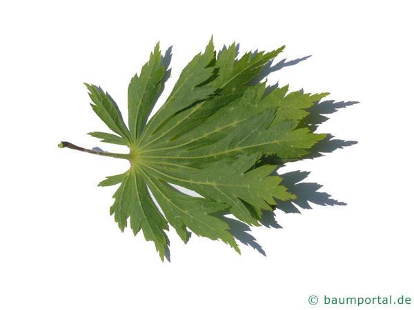 japanischer Feuer-Ahorn (Acer japonicum 'Aconitifolium') Blatt Unterseite
