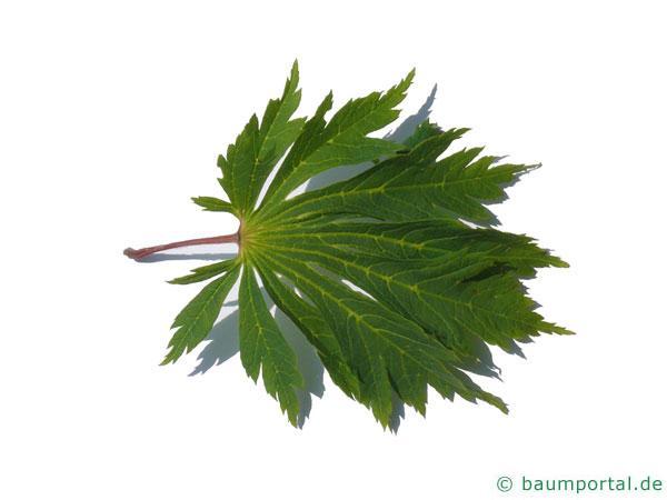 japanischer Feuer-Ahorn (Acer japonicum 'Aconitifolium') Blatt