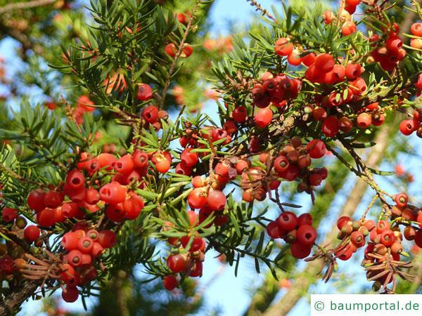 japanische Eibe (Taxus cuspidata) Zweig mit Beeren