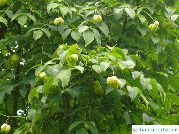 japanische Pimpernuss (Staphylea bumalda) Blätter
