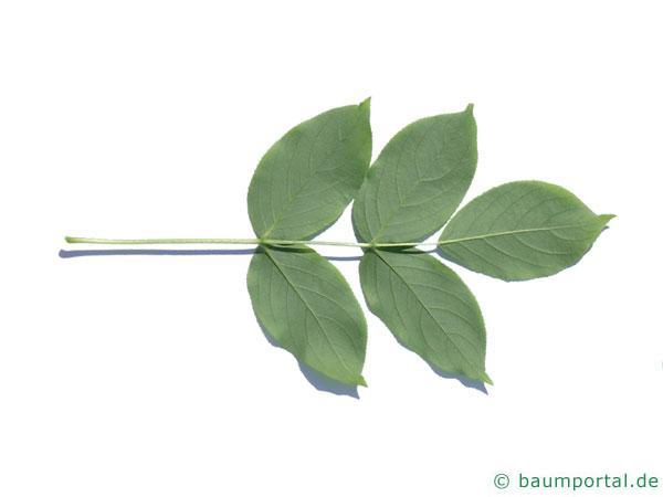 japanische Pimpernuss (Staphylea bumalda) Blatt Unterseite