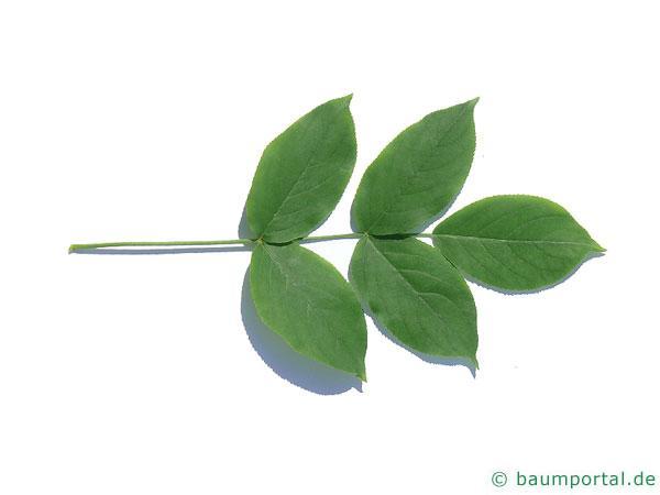 japanische Pimpernuss (Staphylea bumalda) Blatt