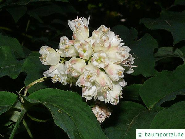 japanische Pimpernuss (Staphylea bumalda) Blüte
