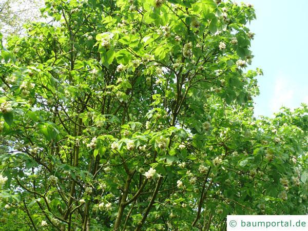 japanische Pimpernuss (Staphylea bumalda) Krone in der Blüte