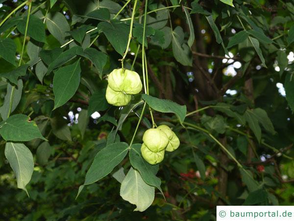 japanische Pimpernuss (Staphylea bumalda) Früchte