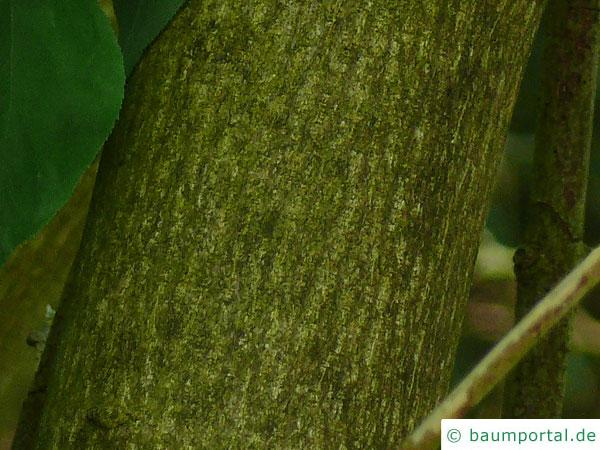 japanische Pimpernuss (Staphylea bumalda) Stamm / Rinde / Borke
