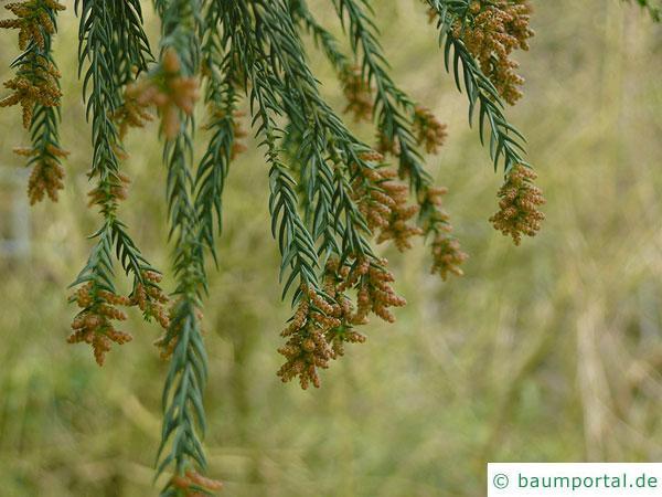 Sichel-Tanne (Cryptomeria japonica) Blüten