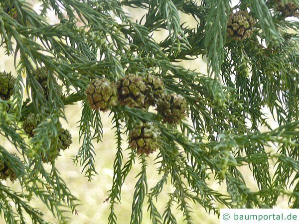 Sichel-Tanne (Cryptomeria japonica) Zapfen