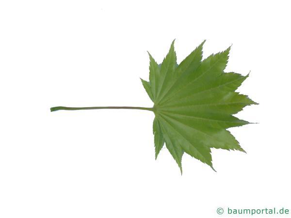 japanischer Ahorn (Acer japonicum) Blatt Unterseite