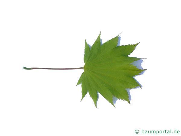 japanischer Ahorn (Acer japonicum) Blatt