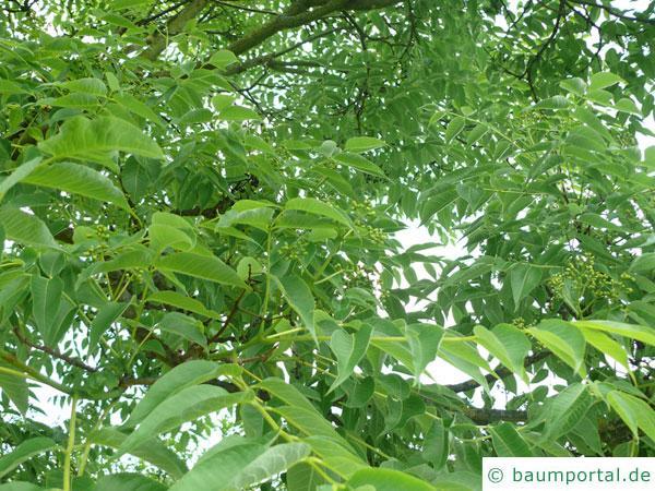 japanischer Korkbaum (Phellodendron japonicum) Blätter