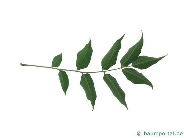 japanischer Korkbaum (Phellodendron japonicum) Blatt Unterseite