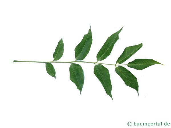 japanischer Korkbaum (Phellodendron japonicum) Blatt