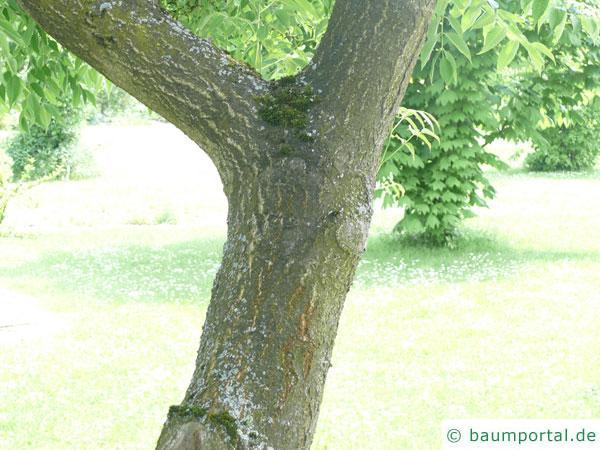japanischer Korkbaum (Phellodendron japonicum) Stamm / Rinde / Borke
