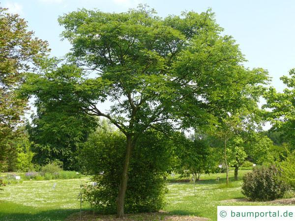 japanischer korkbaum phellodendron japonicum. Black Bedroom Furniture Sets. Home Design Ideas