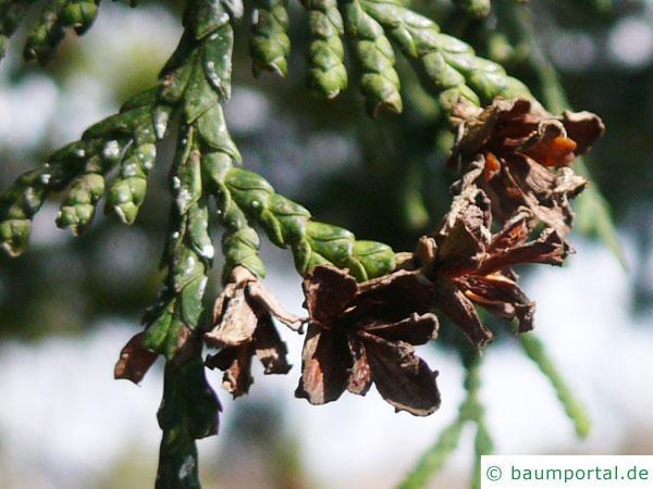 japanischer Lebensbaum (Thuja standishii) schuppige Nadeln