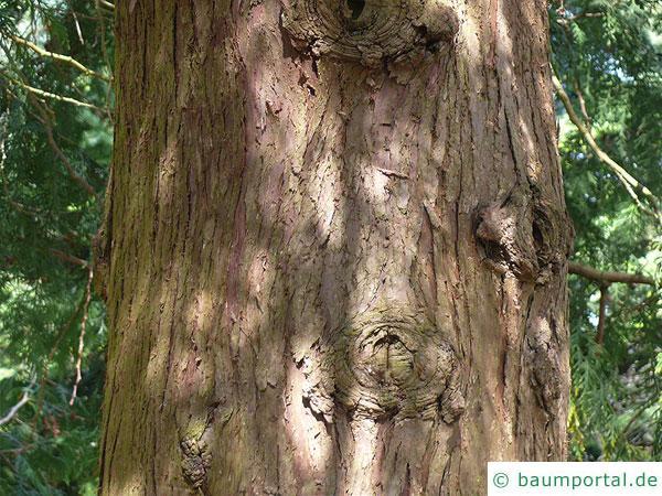 japanischer Lebensbaum (Thuja standishii) Stamm / Rinde / Borke