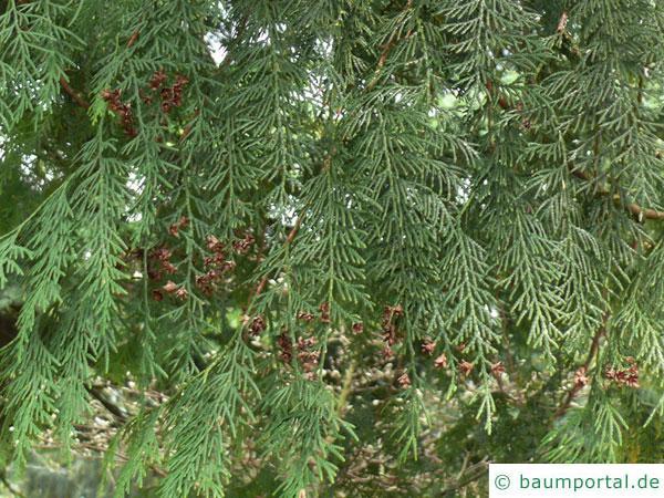 japanischer Lebensbaum (Thuja standishii) Zweige