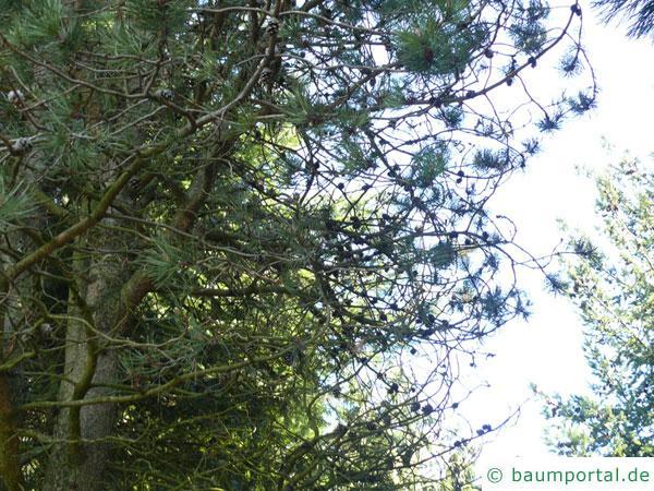Jersey-Kiefer (Pinus virginiana)