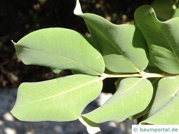 Johannisbrotbaum (Ceratonia siliqua) Blätter